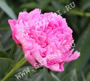 P. Vivid Rose