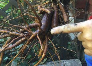 Старый запасающий корень (удаляется)