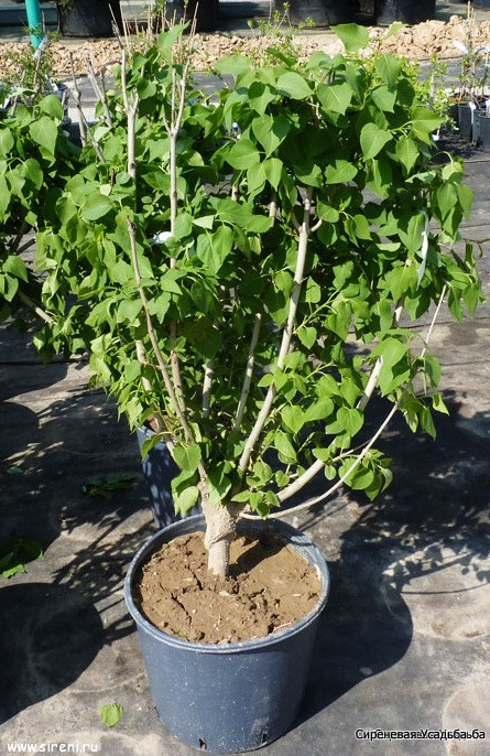 02 Grafted lilacs in the Hungarian