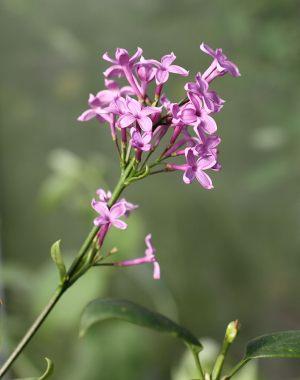 S-h-Lilac-Sunday