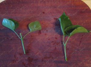 02_Green cuttings