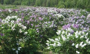 Цветение сирени 14 мая 2012 г