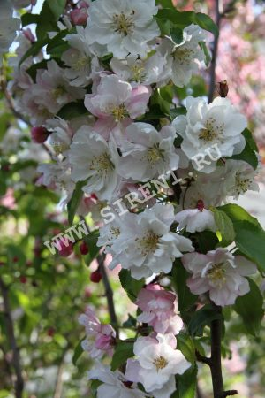 Махровые декоративные яблони