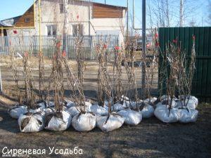 15-Sagenzy-lilacs